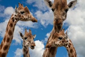 giraffes-627033_1280